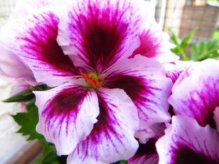 The Pelargonium grandiflorum.